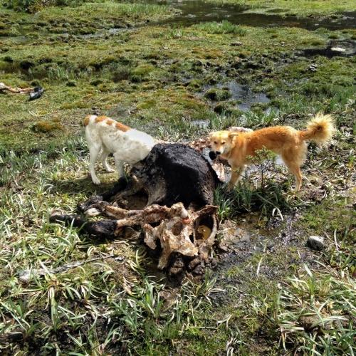 Santa Cruz Trek Dogs Eating Cow Peru