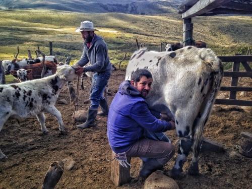 Los Nevados Aquilino O Ventiadero Cow Milking Colombia