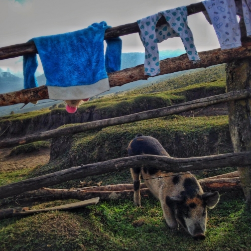 Los Nevados Farm Pig Laundry Colombia